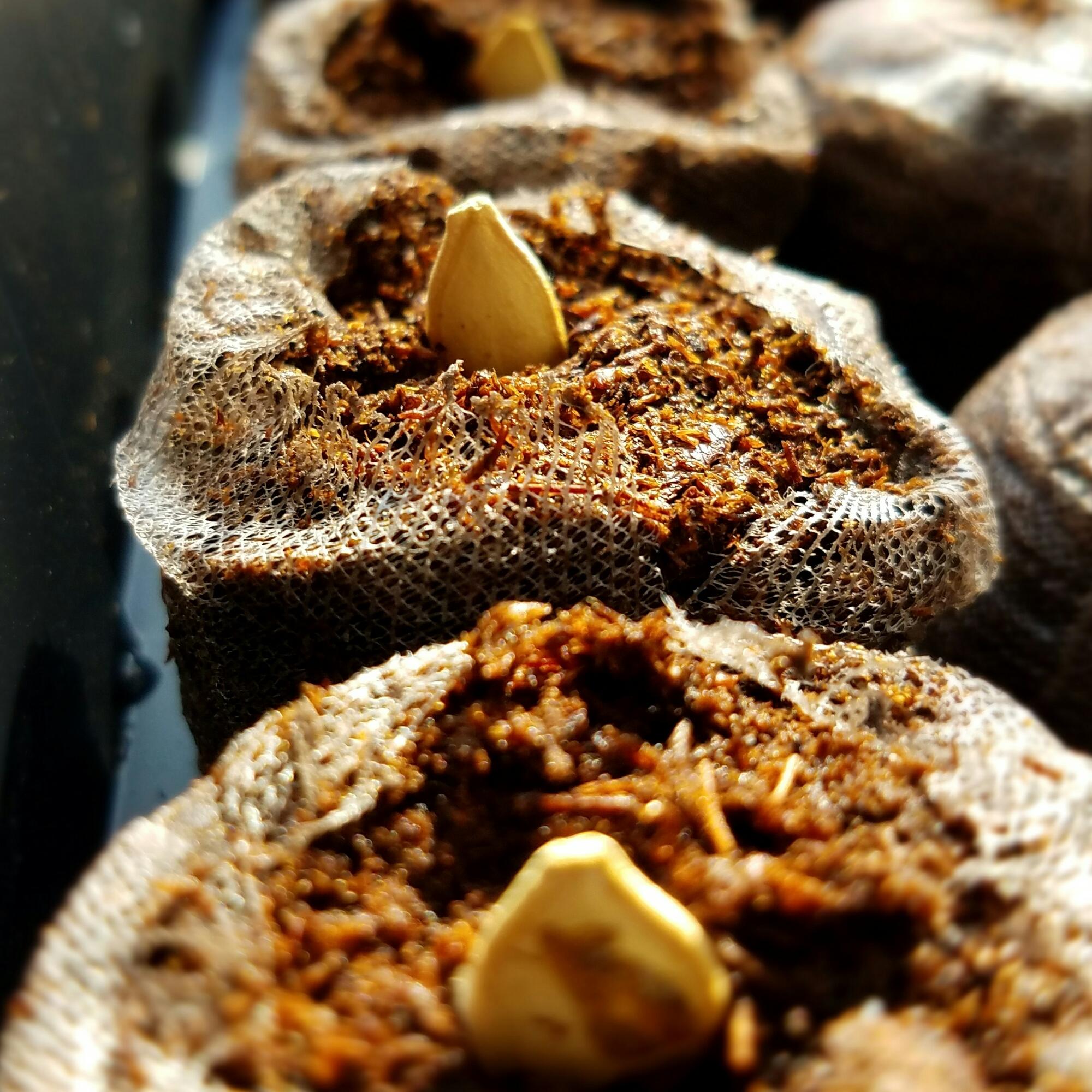Squash seed un peat pot
