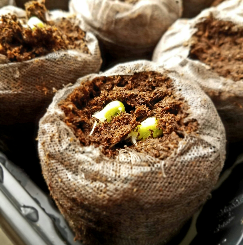Plant sprouts