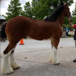 Clydesdale Horse standing with trainer